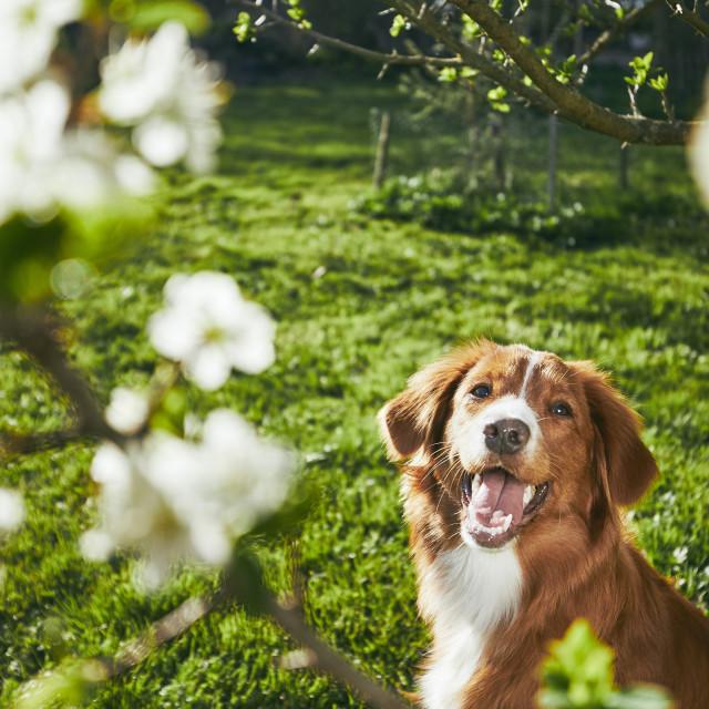 """Dog resting on the garden"" stock image"