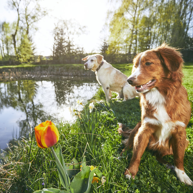 """""""Two friendly dogs in summer nature"""" stock image"""