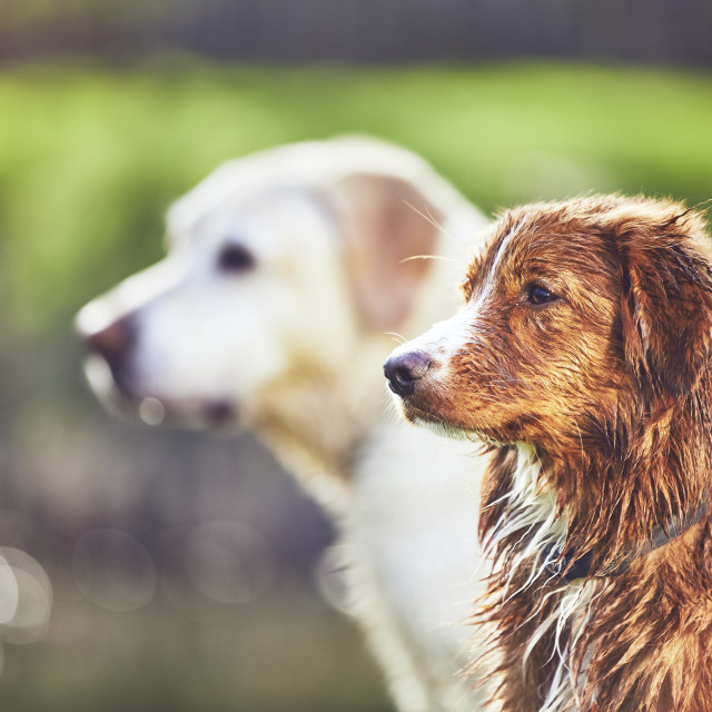 """Two friendly dogs in summer nature"" stock image"