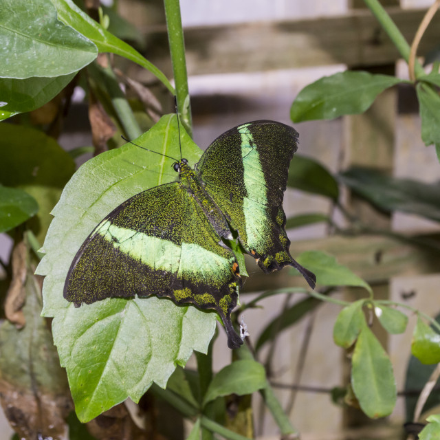 """Green Banded Swallowtail"" stock image"