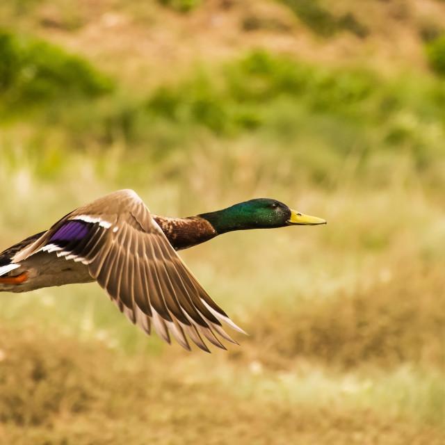 """Mallard duck in flight"" stock image"