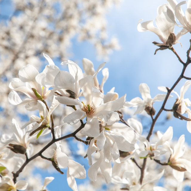"""""""Blooming branches of White Magnolia against blue sky"""" stock image"""