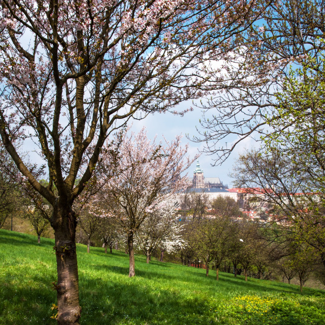 """""""Spring Orchards And St Vitus Cathedral. Prague"""" stock image"""