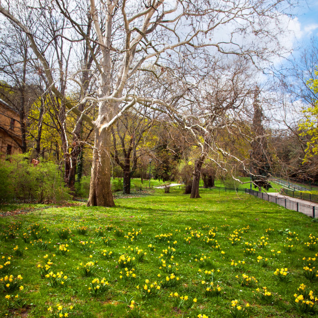 """""""Green fielld with Daffodils. Spring in Prague"""" stock image"""