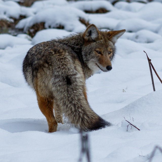 """Coyote hunting in the snow in Yosemite Valley"" stock image"