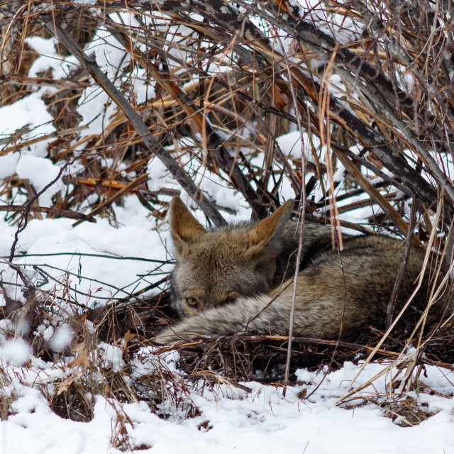 """Coyote resting under a bush in the snow in Yosemite Valley"" stock image"
