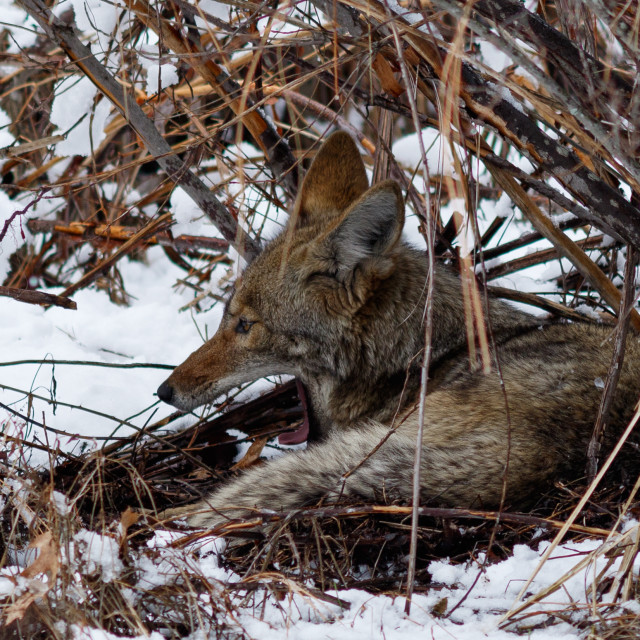 """Coyote resting under a bush and yawning in the snow in Yosemite Valley"" stock image"