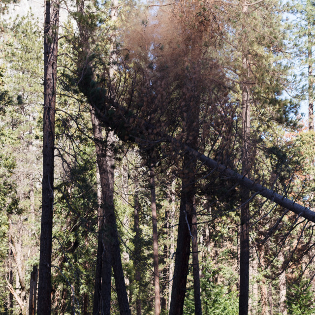 """Yosemite tree cutting in Yosemite Valley"" stock image"