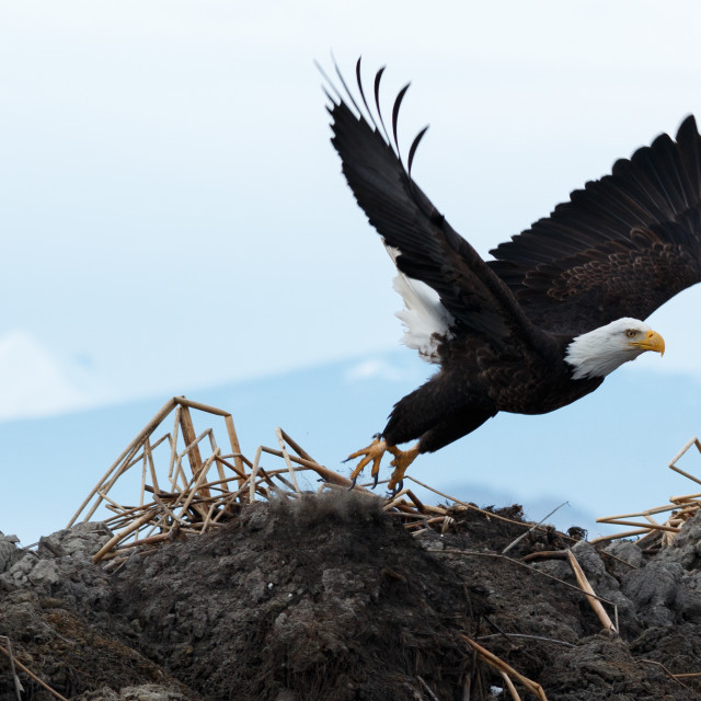 """Bald eagle taking off"" stock image"