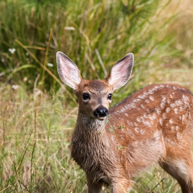 """""""White-tailed deer fawn"""" stock image"""