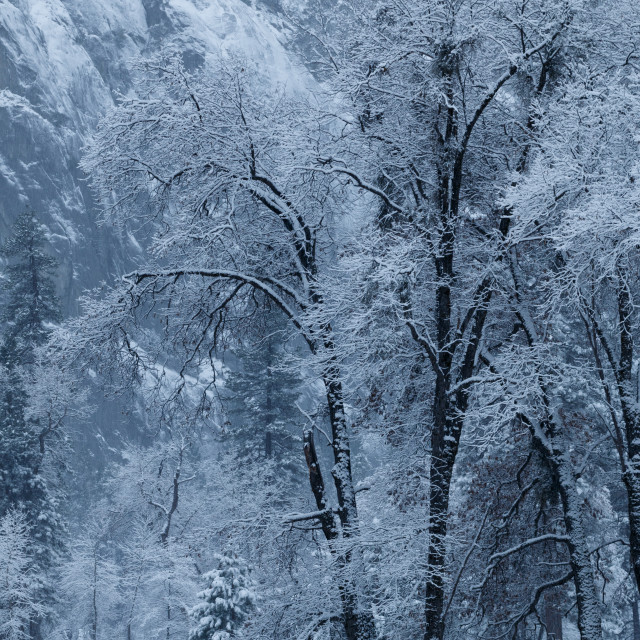 """Snow covered trees in Yosemite Valley"" stock image"
