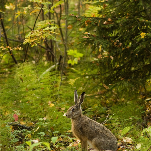 """alert hare in the forest"" stock image"