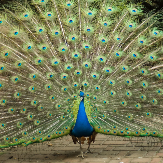 """peacock trying to impress female"" stock image"
