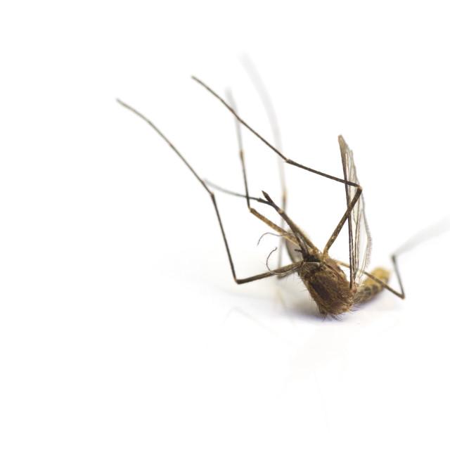 """Three dead mosquito"" stock image"