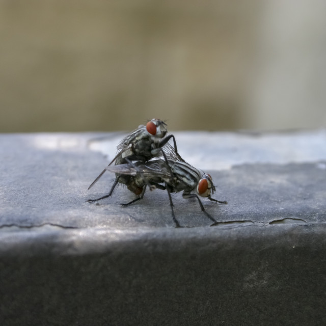"""Two Bluebottle Calliphora erythrocephala mating"" stock image"