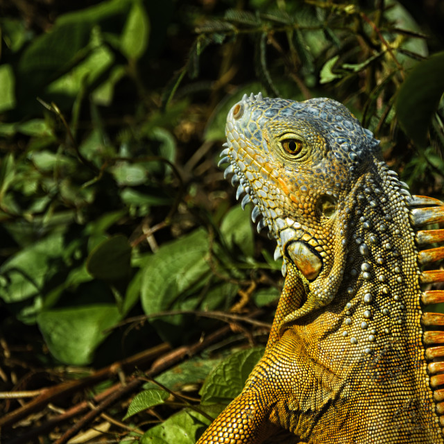 """Male Iguana"" stock image"