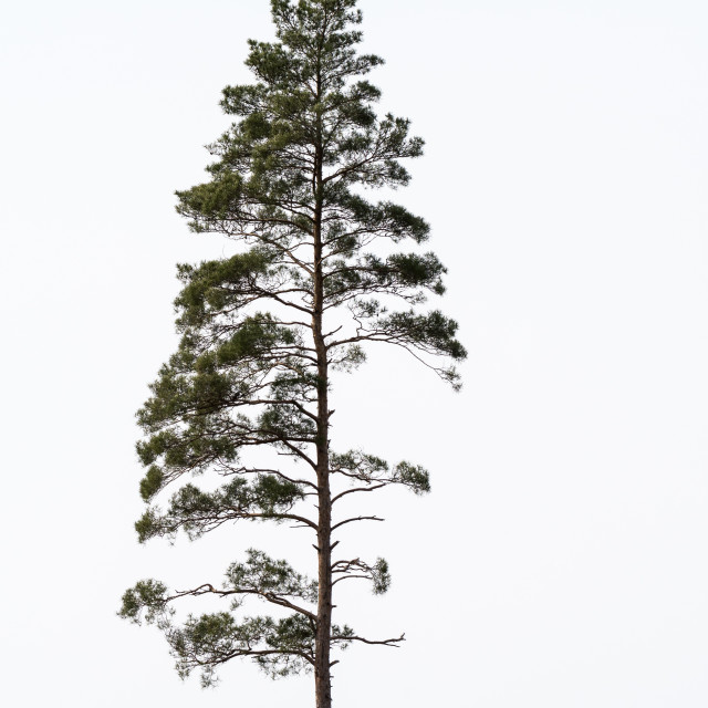 """""""Single growing pine tree"""" stock image"""