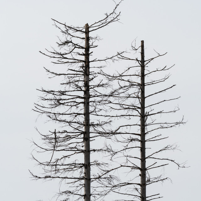 """""""Two dead trees silhouettes"""" stock image"""