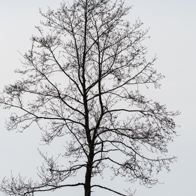 """Single bare alder tree"" stock image"