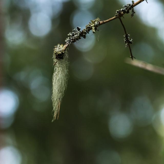 """Beard moss on a twig"" stock image"