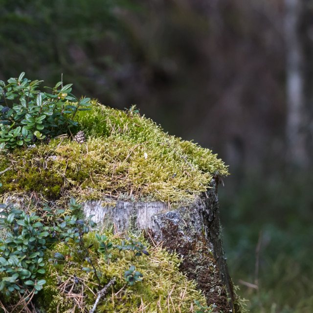 """""""Old moss-covered tree stump"""" stock image"""