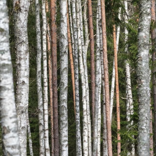 """Pattern of tree trunks"" stock image"