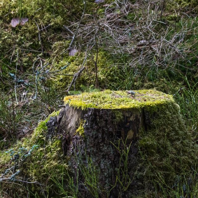 """Old moss-grown tree stump"" stock image"