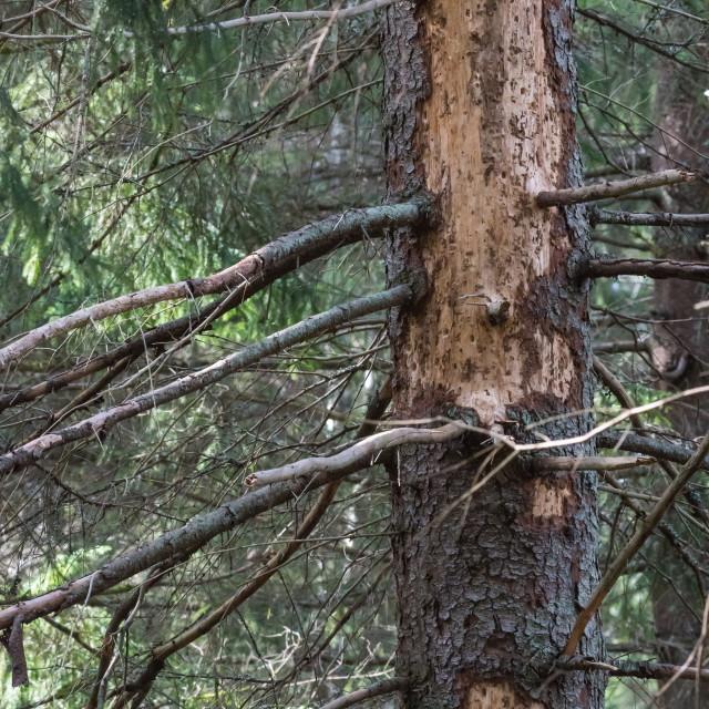 """""""Big damaged spruce tree"""" stock image"""