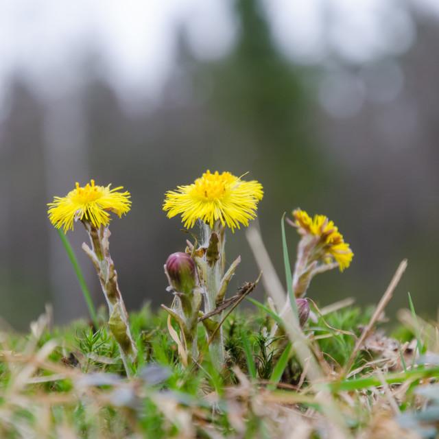 """Coltsfoot flowers closeup"" stock image"