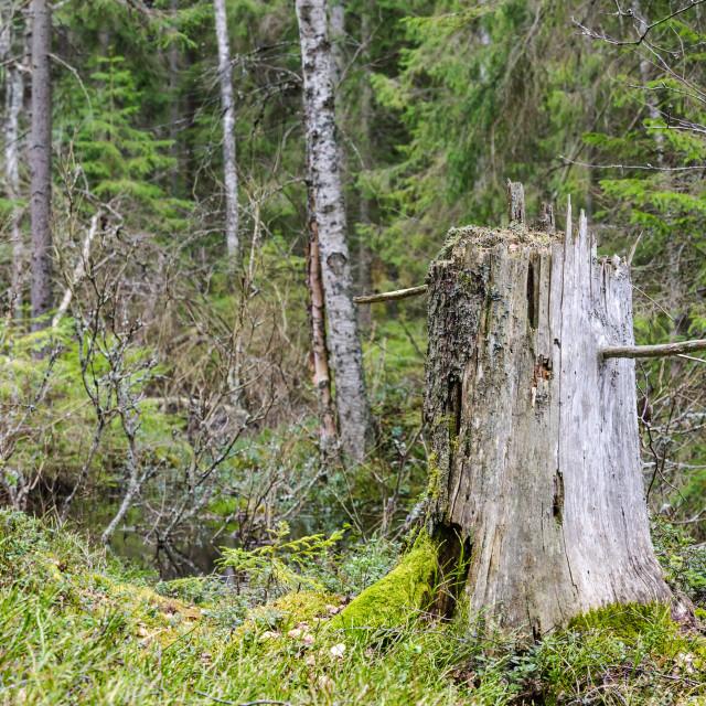"""Old weathered tree stump"" stock image"