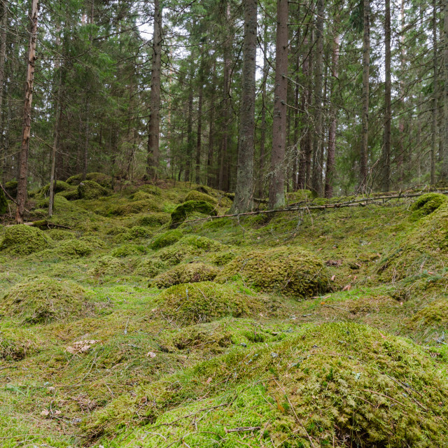"""""""Mossy coniferous forest ground"""" stock image"""