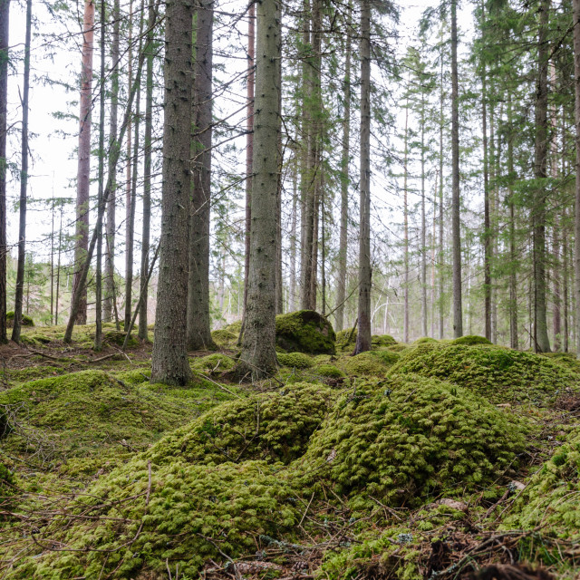 """""""Spruce trees in a mossy coniferous forest"""" stock image"""