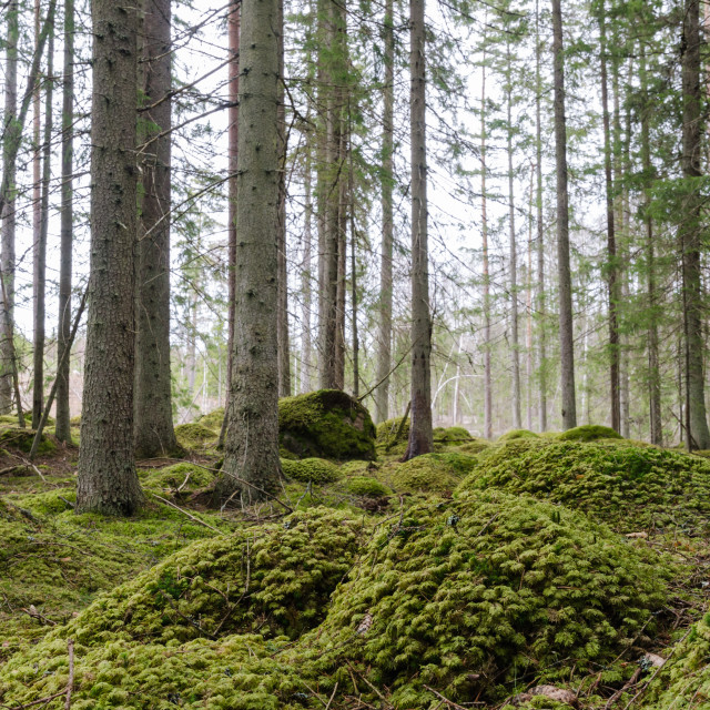 """""""Moss covered ground in a spruce tree forest"""" stock image"""