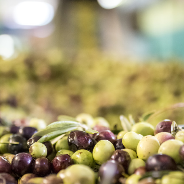 """Olives ready to be pressed."" stock image"
