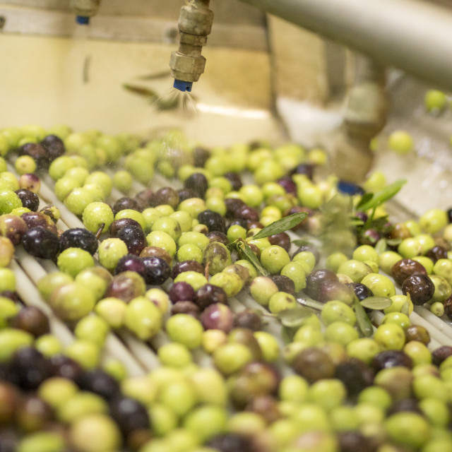 """Olives are washed during the extraction process."" stock image"