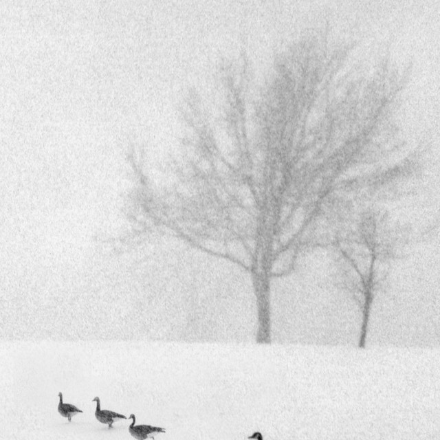 """Canadian geese in the snow"" stock image"