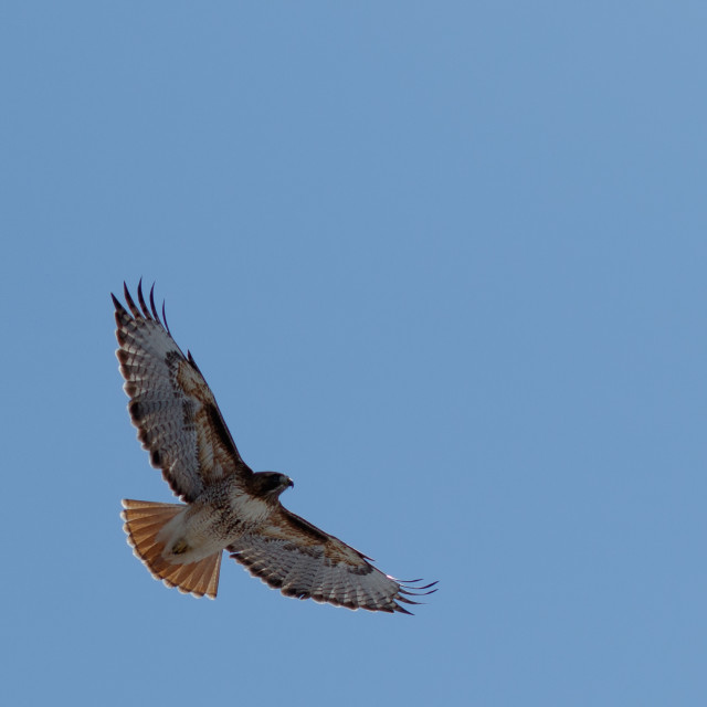 """Red-tailed hawk in flight"" stock image"
