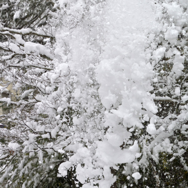 """""""Snow Pours Down From a Tree in Winter"""" stock image"""