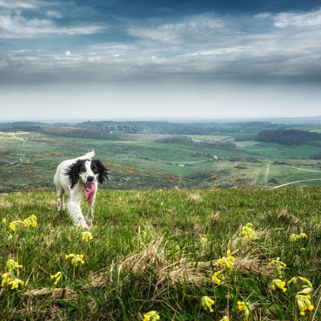 """Running Through the Cowslips"" stock image"