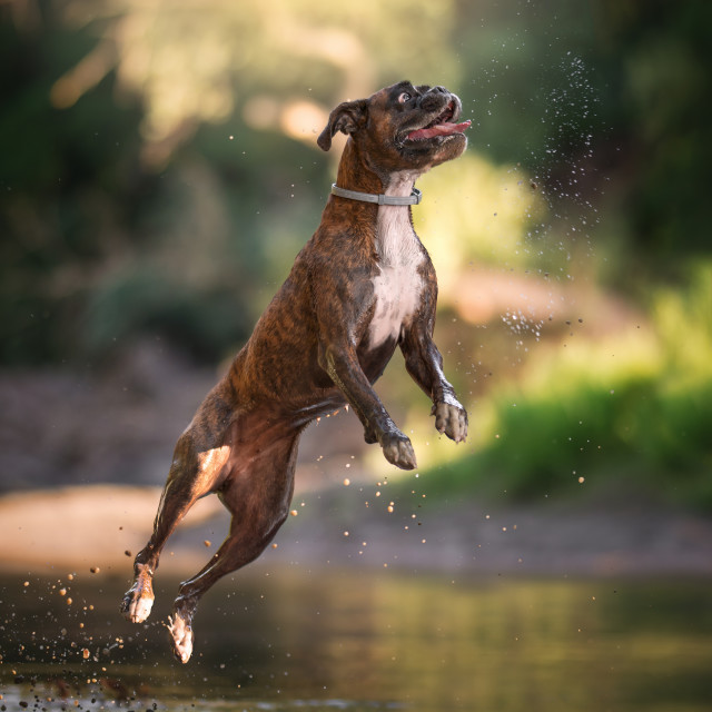 """Boxer dog in action"" stock image"