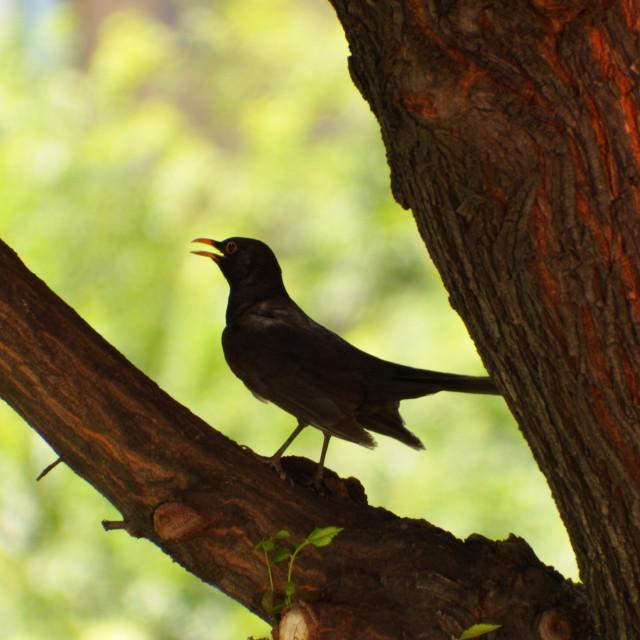 """Beautiful common blackbird on the tree"" stock image"