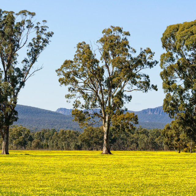 """Gum trees on a yellow field - Grampians"" stock image"