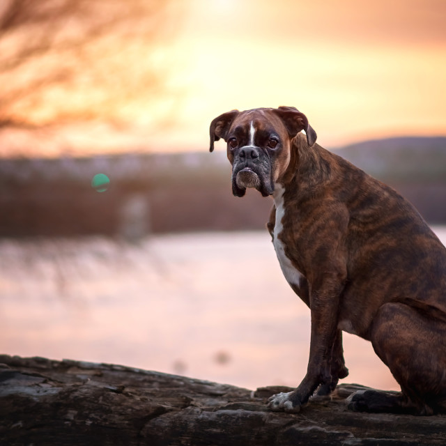 """Dog waiting at sunset"" stock image"