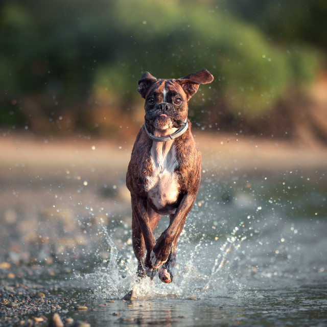 """Dog running in the water"" stock image"