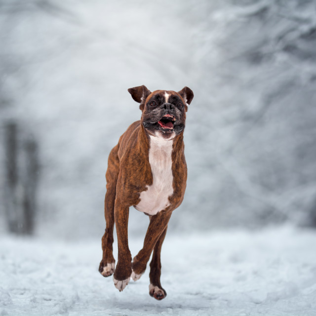 """Dog running in the snow"" stock image"