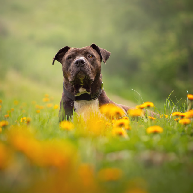 """Dog among flowers"" stock image"