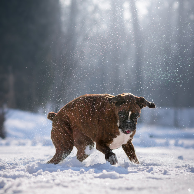 """Dog playing in the snow"" stock image"