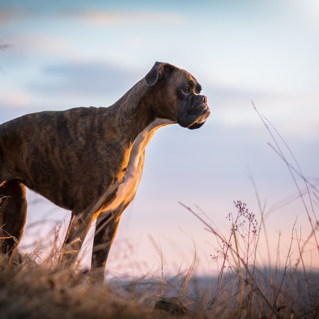 """Boxer dog stares the last sunrays"" stock image"