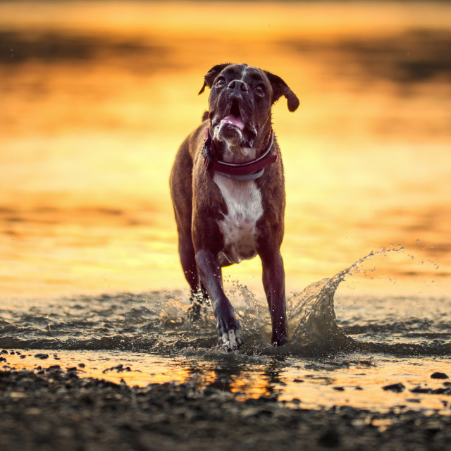 """Dog in action at sunset"" stock image"