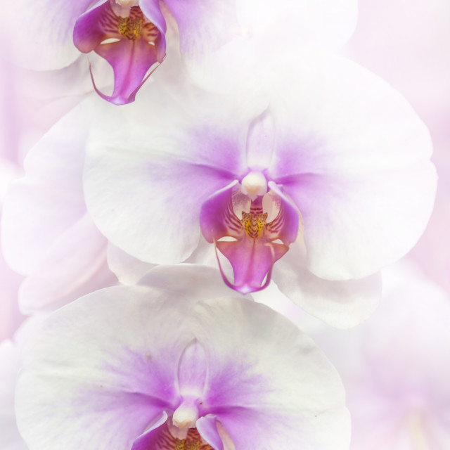 """""""White Moth Orchids"""" stock image"""